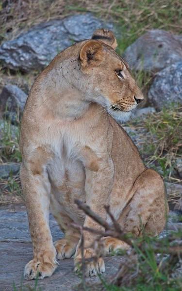 Lion, Naboisho Conservancy