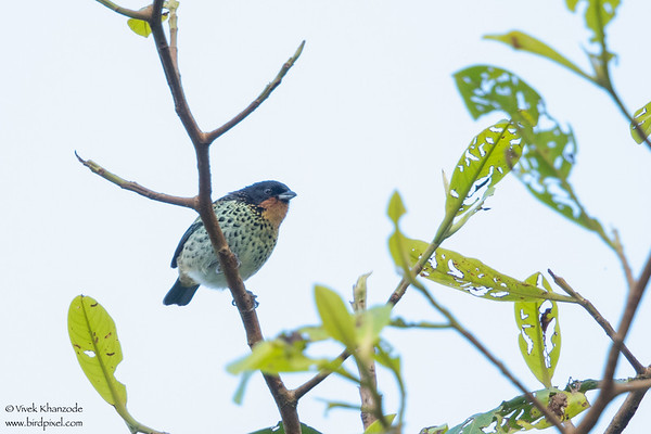 Rufous-throated Tanager