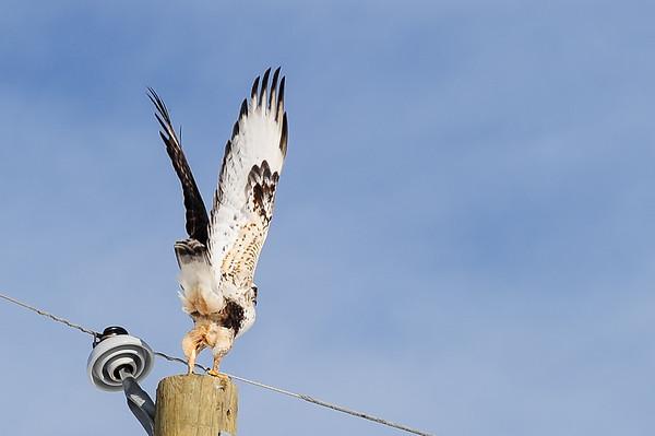 3 2013 Mar 20 Rough-legged Hawk Light & Dark Morph
