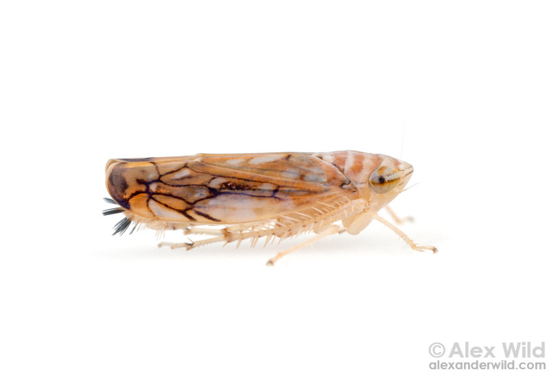 Scaphoideus