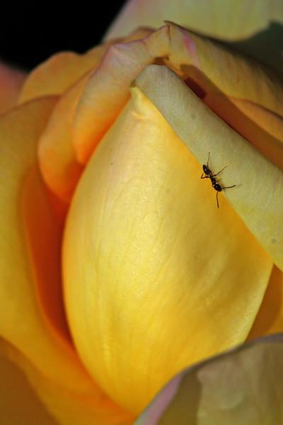 7312 Ant on Rose.jpg