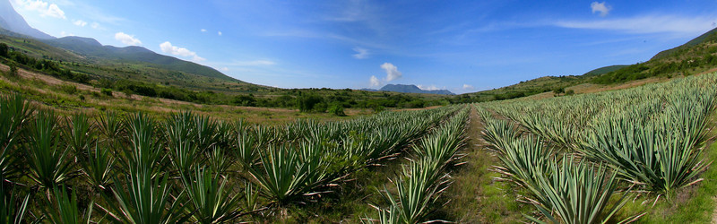 Agaves, mezcal, Oaxaca, Dave Millers Mexico