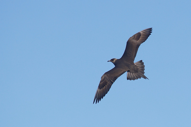 Parasitic Jeager in flight, dark morph