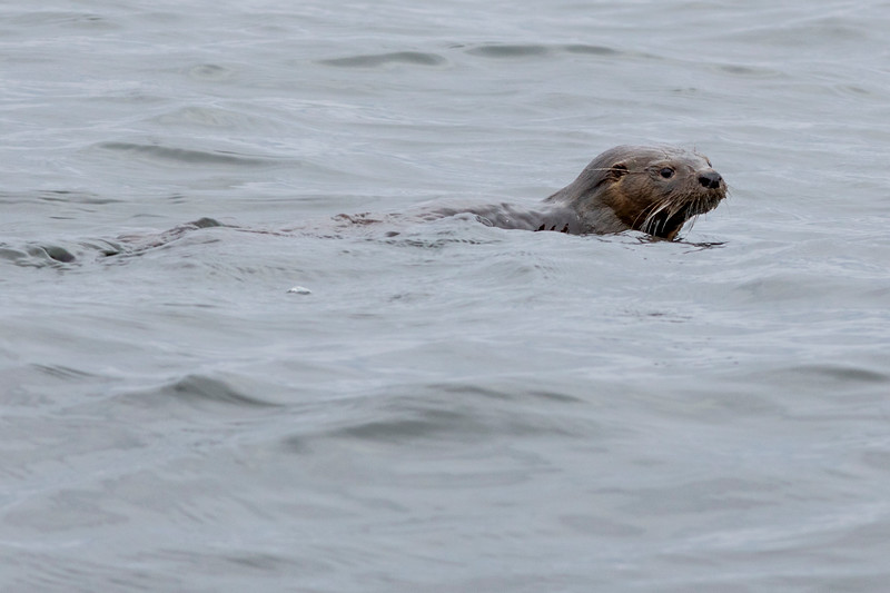 Chilean National Humbolt Penguin Reserve Isla Choros -  Sea Otter #1