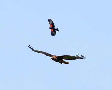 Blackbirds & Cowbirds & Starlings