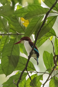 Kingfisher, Chocolate-backed
