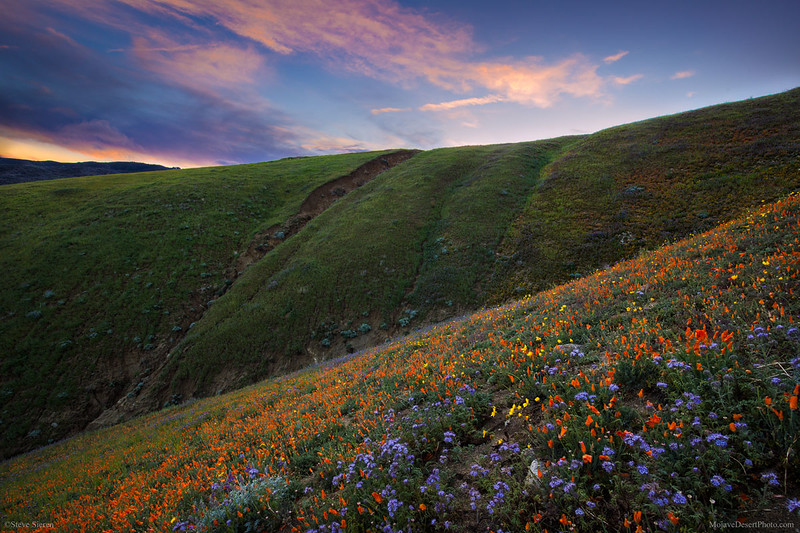 Southern_California_Wildflowers_Sierra_Pelona_Mountains_MG_3167.jpg