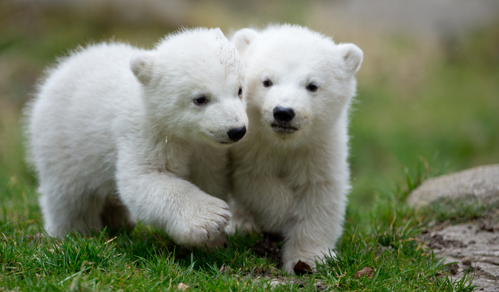 . Two 14-week old polar bear twins explore their enclosure at the Hellabrunn zoo in Munich, Germany, Wednesday, March 19, 2014. The cubs who were born on Dec. 9, 2013 were presented to the public for the first time. (AP Photo/dpa, Sven Hoppe)