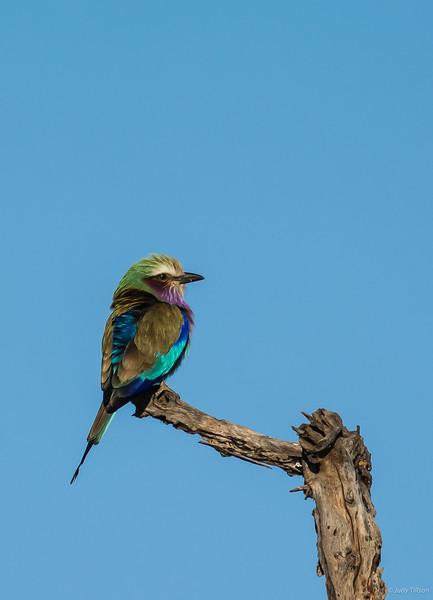 Tarangire National Park Lilac-breasted  bird -.jpg