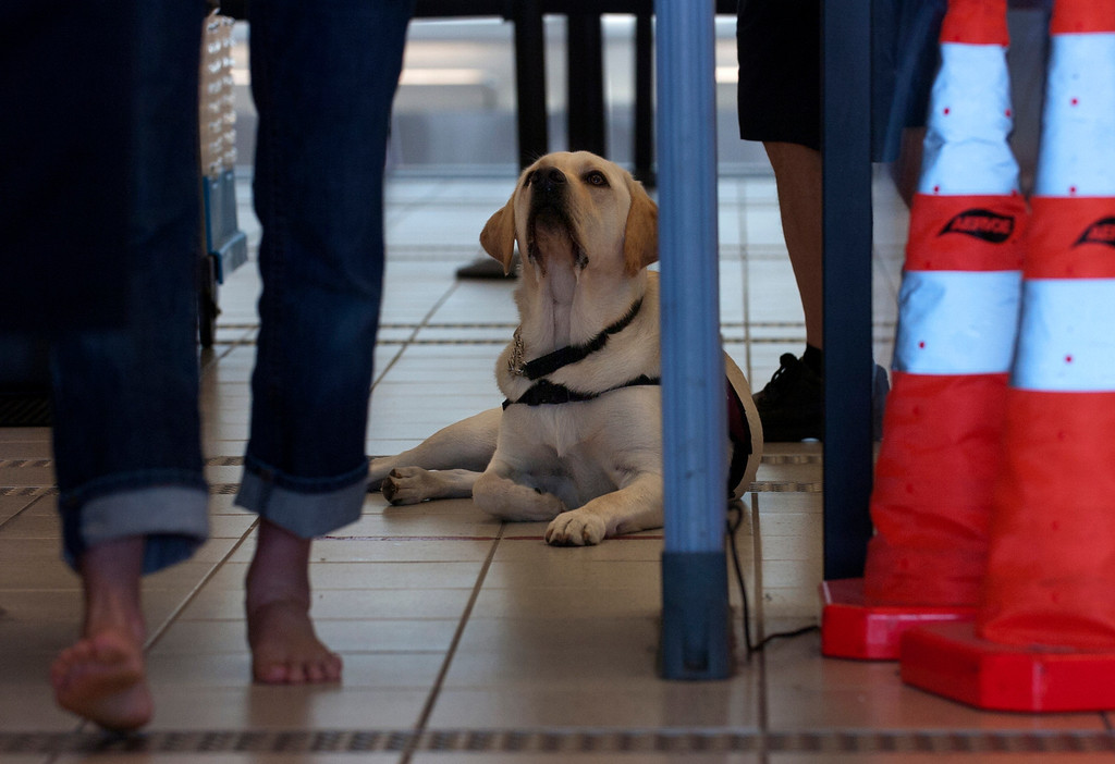 . Ranger watches his trainer walk through the metal detector as service dogs get a feel for the airport while working with their handlers and the TSA at LA/ONT International Airport in Ontario, CA Thursday, September 12, 2013. (Jennifer Cappuccio Maher/Inland Valley Daily Bulletin)