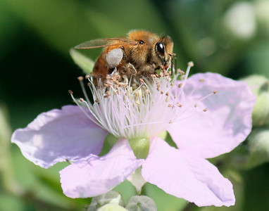 Bees and Other Insects