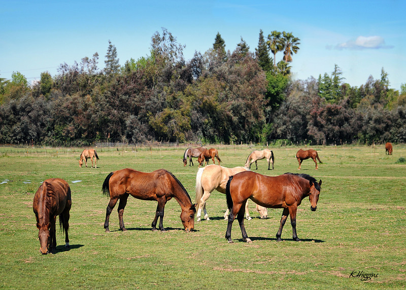 Collins Ranch 2011 Stallion shoot- Manteca, CA