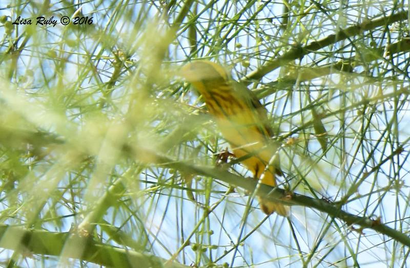 Uncooperative Yellow Warbler  - 5/26/2016 - Borrego Springs Roadrunner Club