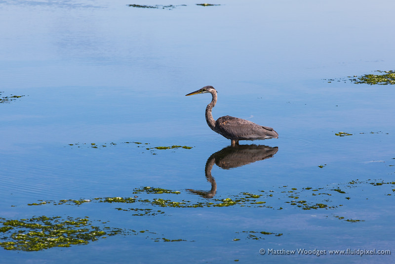 Woodget-140819-270--calm, contemplation, crane - birds - wildlife, meditation, peaceful, reflection, waterfowl.jpg