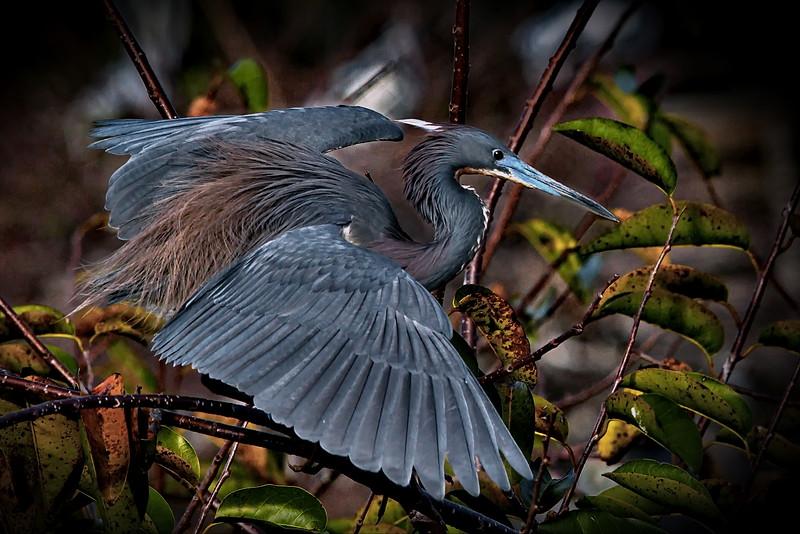 Delray Beach, Florida, Photo, Tricolored Heron, Wakodahatchee Wetlands