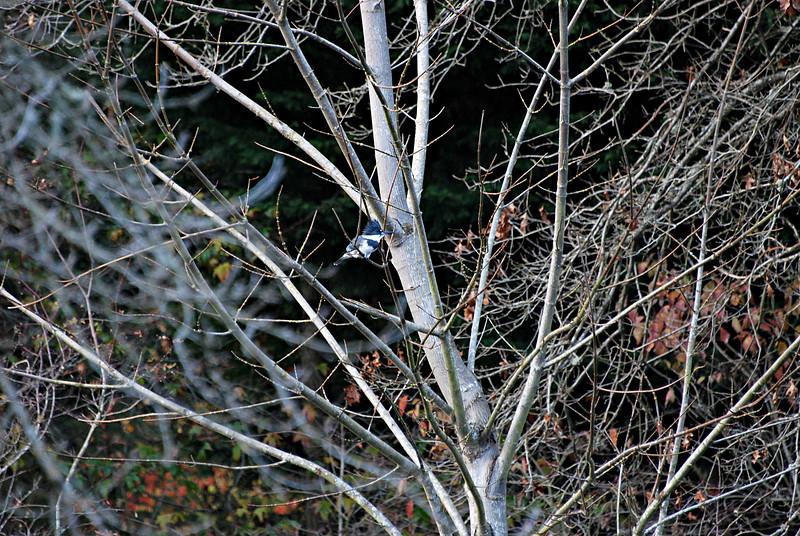 Belted Kingfisher, Seattle WA