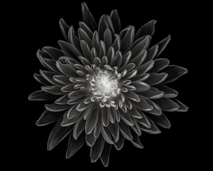 chrysanthemum-03-bw.jpg