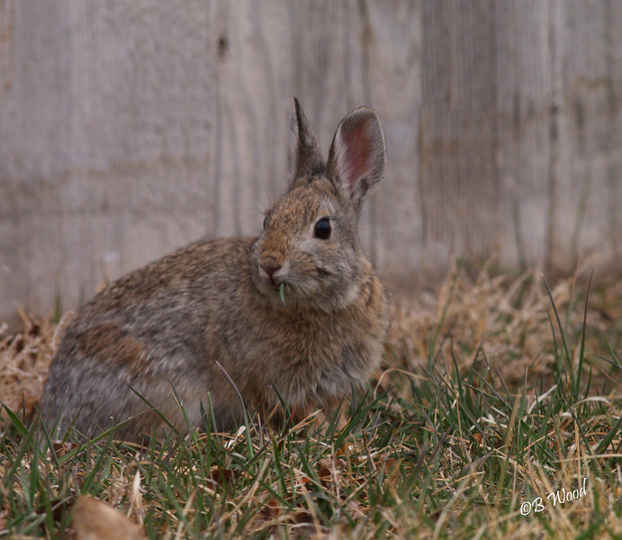 Mountain Cottontail Rabbit (Sylvilagus nuttallii)