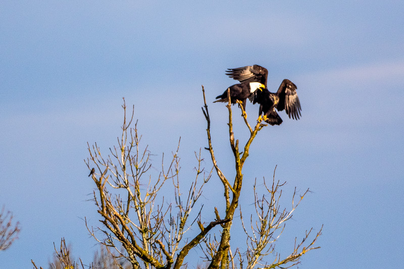 Bald Eagle Tree Dispute -0185.jpg