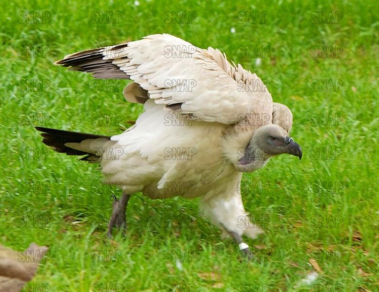 Cape Griffon Vulture