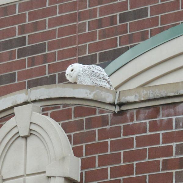 Snow Owl Front St-5075.jpg
