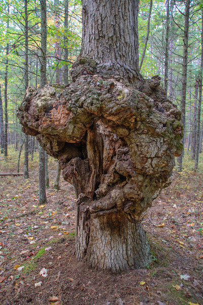 Huge Tree Burl