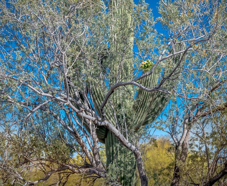 I-11 - Saguaro and Nurse Tree #6a with Saguaro Flowers