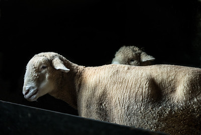 sheep-_89A8160-Edit