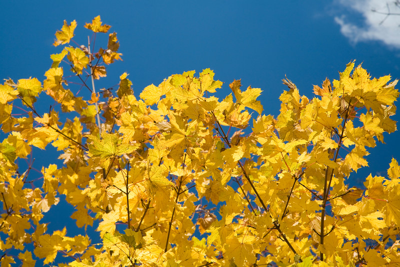Yellow leaves of an elm tree, USA