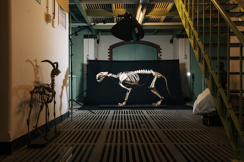 Tiger skeleton on set