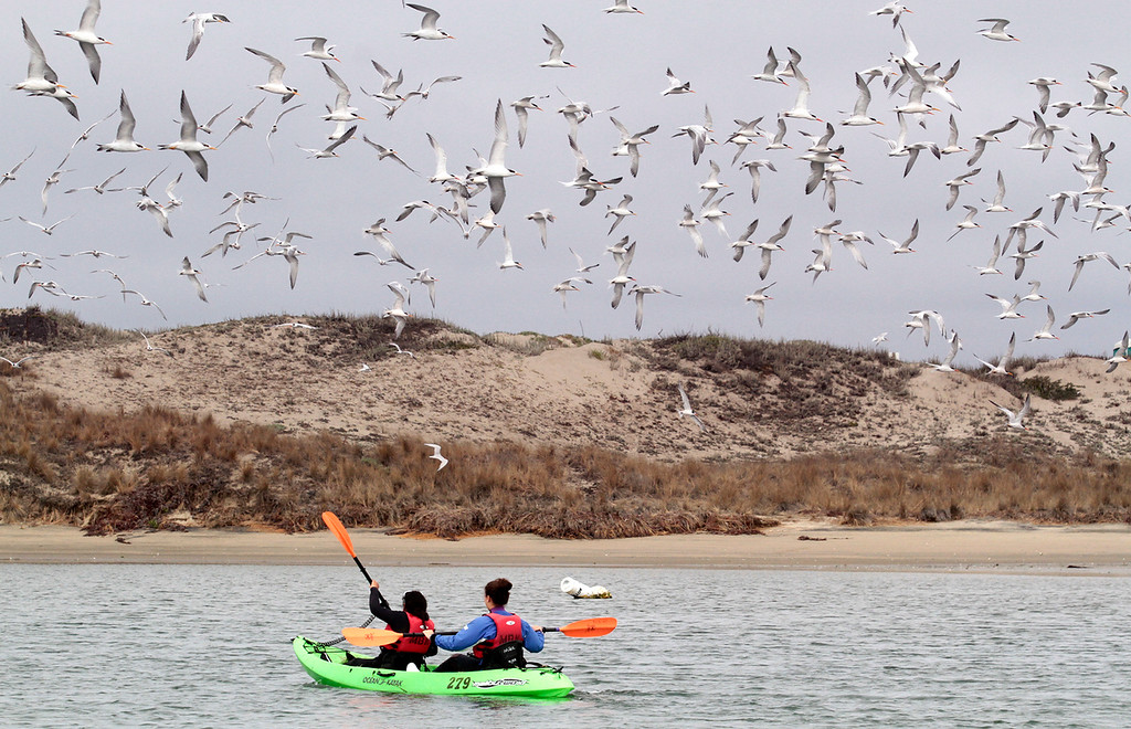 . A flock of terns greets kayakers from Young Women in Science they paddle into Elkhorn Slough.