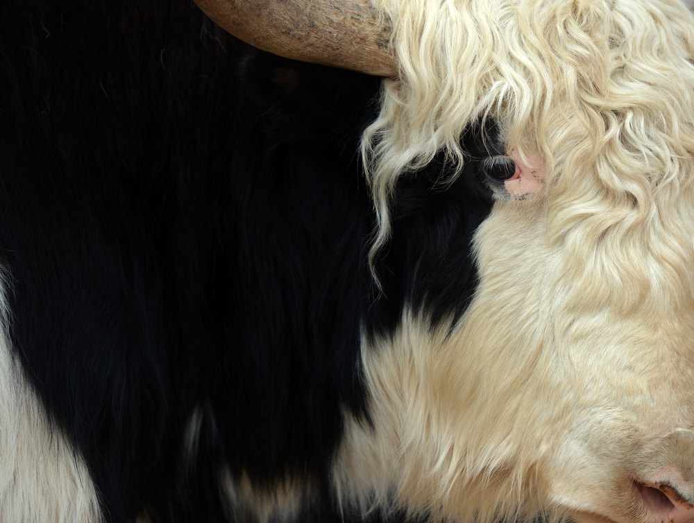 . A yak named Whitey from  Del Yaks in Montrose, CO, on display at the National Western Stock Show in Denver, CO, January, 26, 2013.  (Photo By Craig F. Walker / The Denver Post)