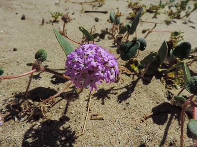 Desert Sand Verbena
