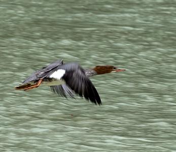 Merganser Duck