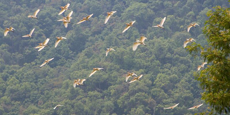 Egrets | Pokhara