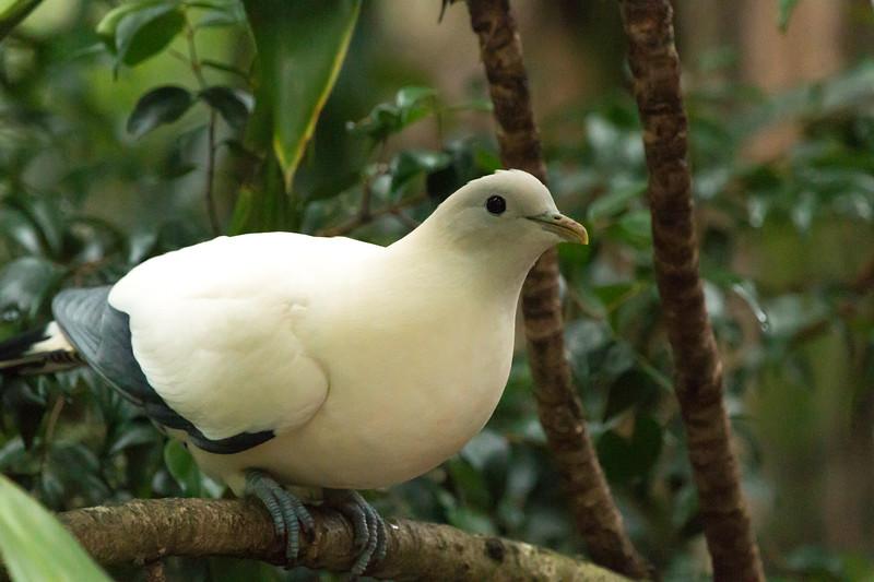 Torresian imperial pigeon, Queensland, Australia