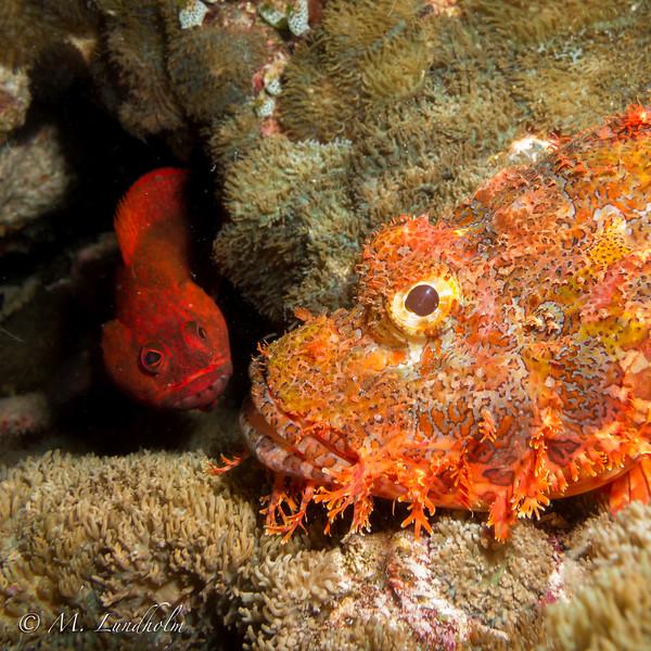 Scorpionfish & Grouper