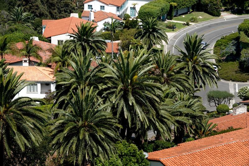 Huge palm treets in Palos Verdes Estates