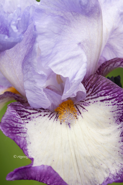 Bearded Iris Eagle's Flight