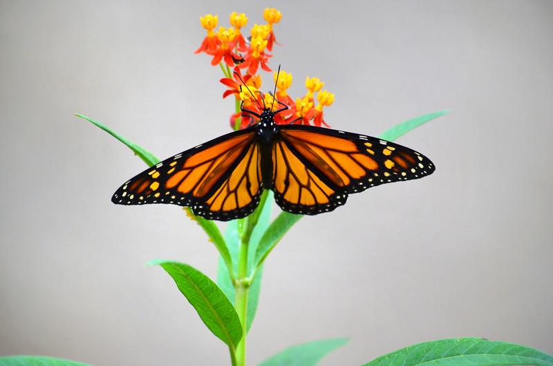 3_26_20 Monarch in my garden.jpg
