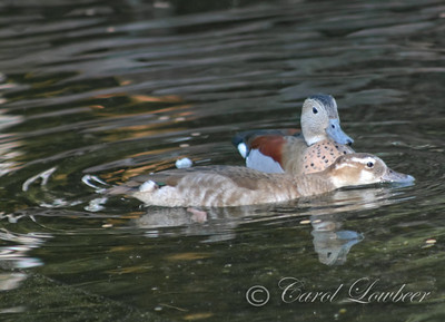 Ring Teal Mating