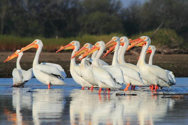 Pelicans,Cormorants