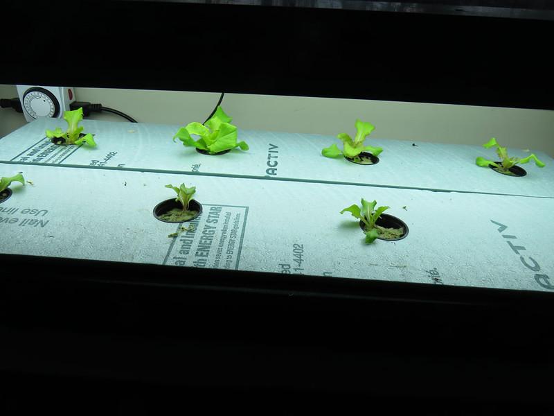 Lettuce-feb1.jpg