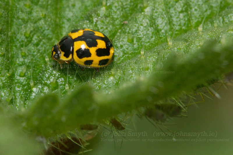 Yellow ladybird on a nettle leaf in my garden. Underneath the leaf are aphids - a favourite food of ladybirds.