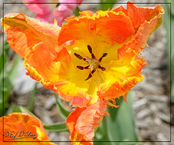 Parrot Tulips - Colorado