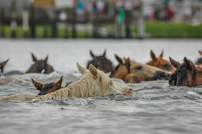 Chincoteague Island Pony Swim Return Swim #5