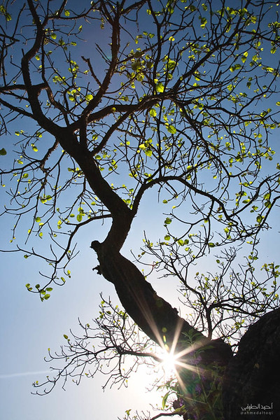 DHOFAR TREE 2.jpg