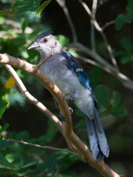 This Bluejay is downright regal