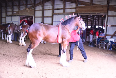 Clydesdale Mare 1-2