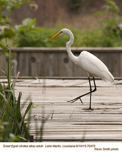 Great Egret A70472.jpg